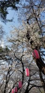 お花見_上大島キャンプ場2